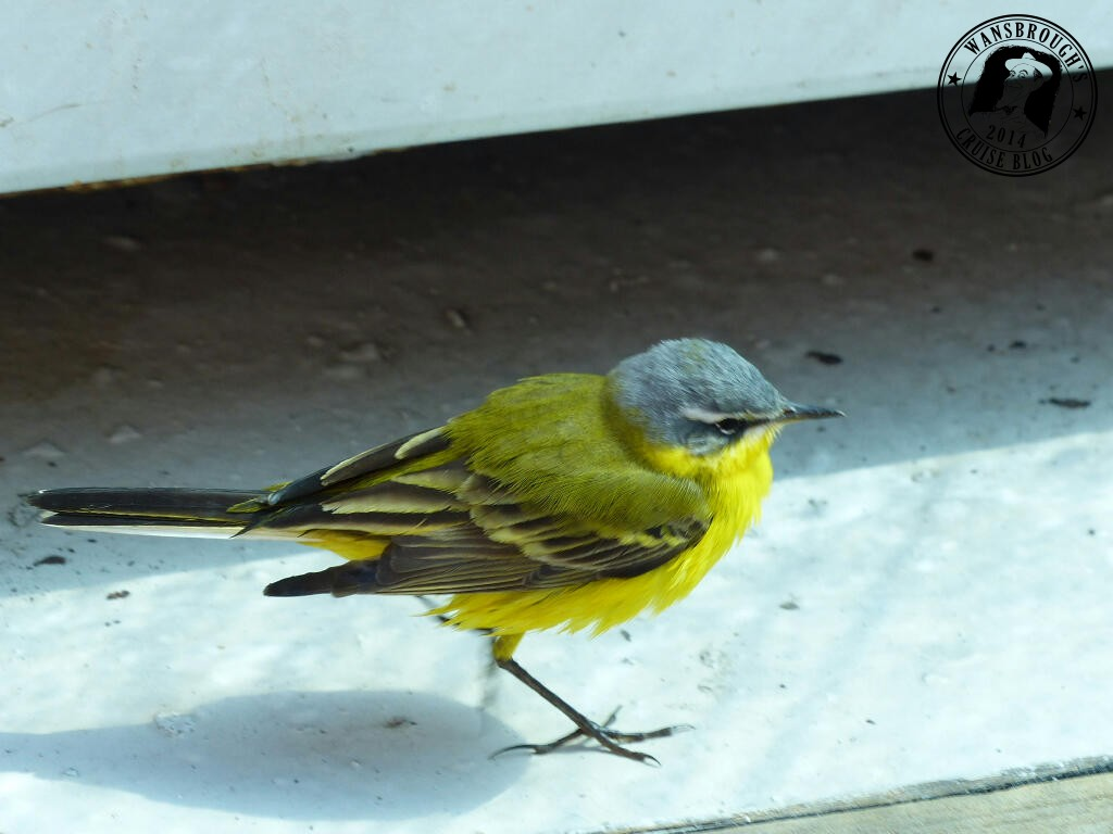 The yellow one is about the size of a sparrow